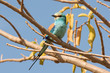 Abyssinian Roller perched in a tree