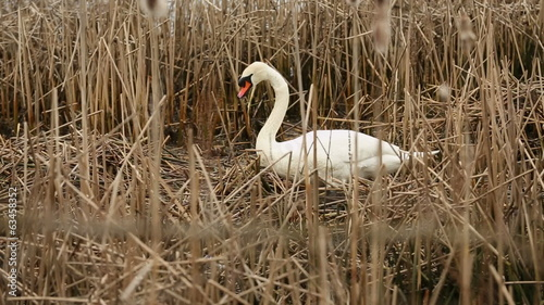 Swan in Bulrushes, Nest Building