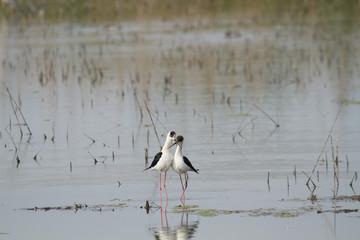cavaliere d'italia uccello acquatico delta del po