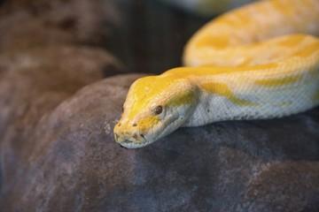 Pitone giallo