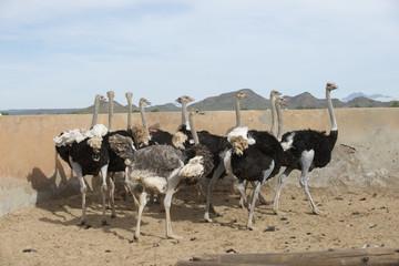 Ostrich farming South Africa