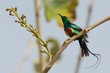 Male Beautiful Sunbird giving his tail streamers a shake