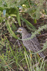 Spotted Thick Knee Dikkop. South Africa