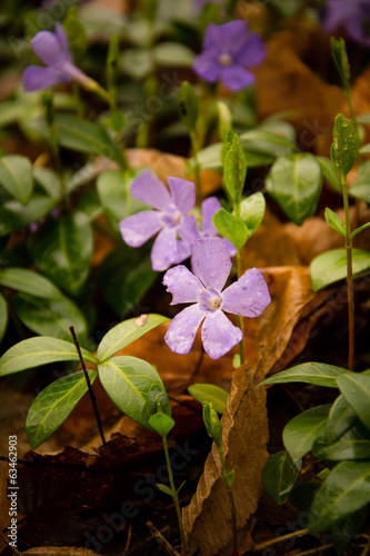Purple Periwinkle ( Vinca minor )