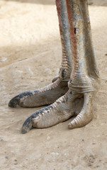 The foot of an Ostrich bird. South Africa