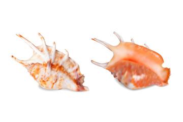 Seashell, isolated on white. Vector illustration