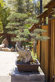 California Juniper Bonsai Tree