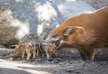 Visayan Warty Piglet with Mother