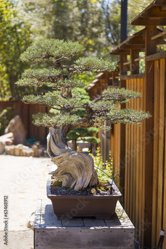 Foto op Canvas Bonsai California Juniper Bonsai Tree