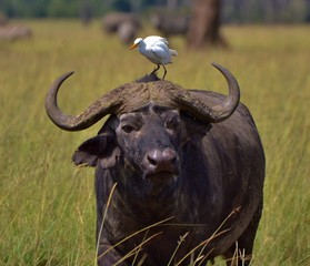 Cape Buffalo and Egret