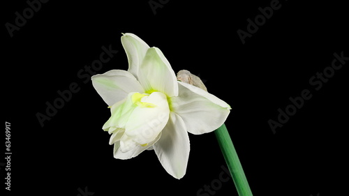 White narcissus flower blooming on black background