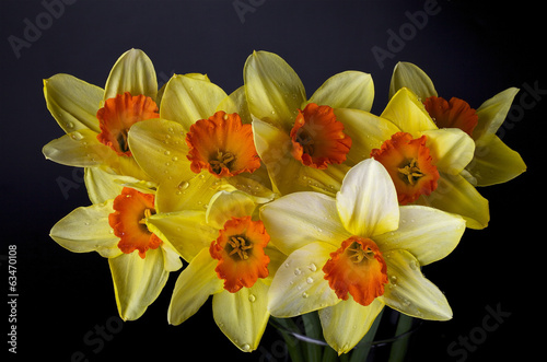 Fresh blooming daffodils and a black background