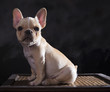 portrait of french bulldogs puppy sitting  with studio light