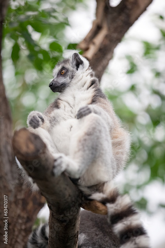 Poster ring-tailed lemur (lemur catta) sitting in a tree