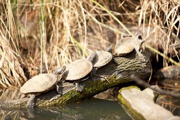Family of terrapin turtles in their natural habitat