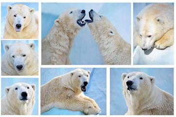 Белые медведи-коллаж.
