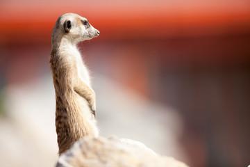 A meerkat on rock guards