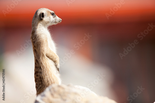 A meerkat on rock guards