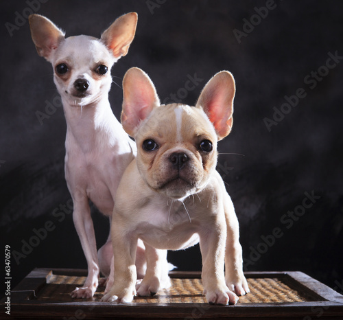 portrait of french bulldog and chihuahua puppies with studio lig