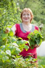 woman gathers raspberry leaves