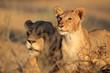 African lioness and cub, Kalahari desert