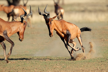 Frolicking red hartebeest, Kalahari desert