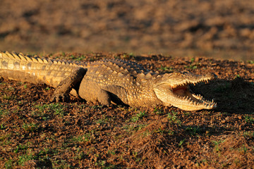 Nile crocodile with gaping jaws