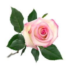Aufgeblühte Rose in zarten Farben