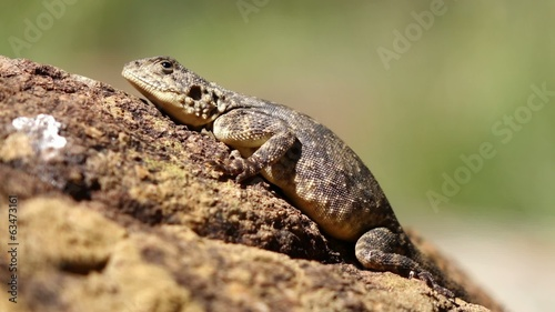 Female ground agama basking on a rock