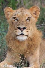 leone mammiffero selvaggio parco nazionale del kruger sudafrica