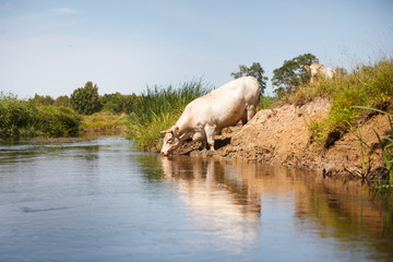 Eco farming, white cow drinking from river