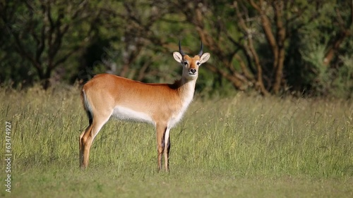Alert male red lechwe antelope in natural habitat