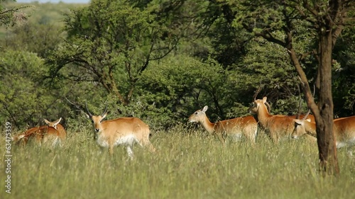 Playful red lechwe antelopes in natural habitat