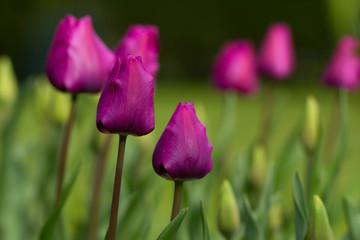 tulip in the field