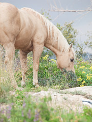 Grazing beautiful palomino stallion of quarterhorse breed