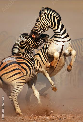 walka-zebr