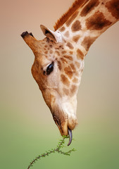 Giraffe eating close-up