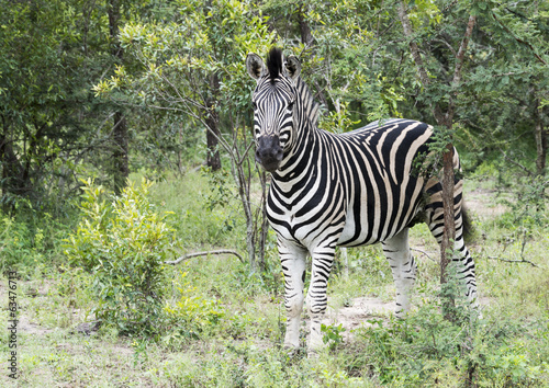 zebra in the kruger national reserve
