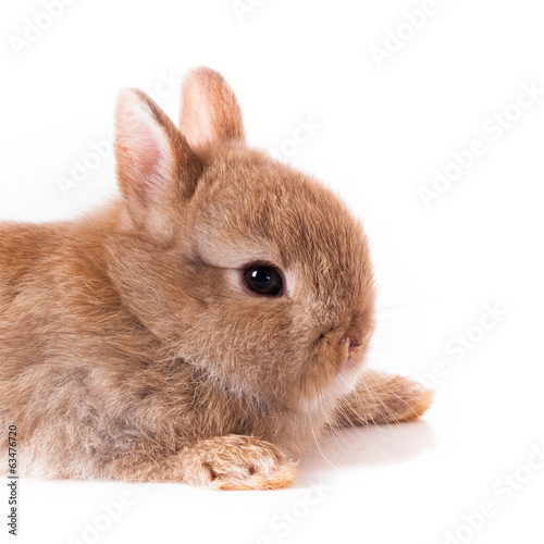 Orange rabbit bunny