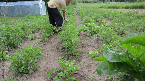 Farmer man manual spray pesticides on plants. Kill weed vermin