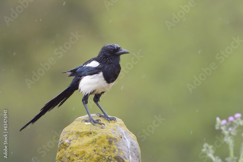 Magpie perched on a stone.