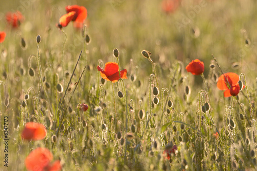 Poppy field with back light.