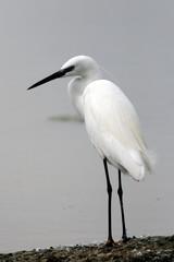 garzetta uccello di palude