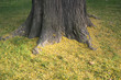 tree trunk with yellow grass