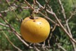 yellow apple growing on a branch
