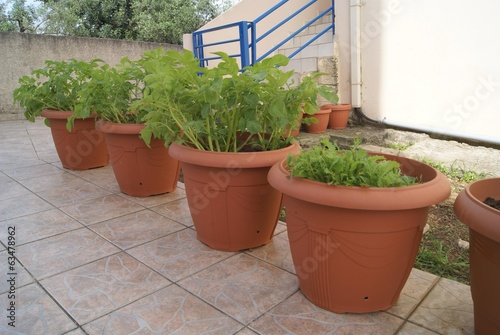 potato plant and spicy lettuce growing in pots