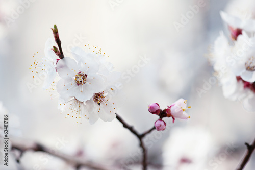 Apricot tree flower © Roxana