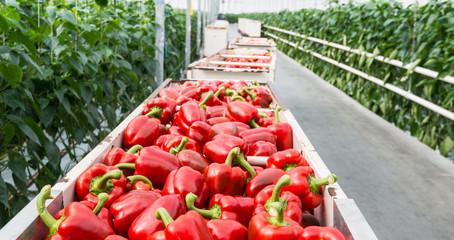 Red peppers in harvesting trolleys