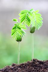 Tamarind planting