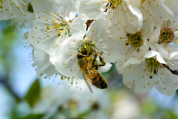 Ape su fiori di ciliegio
